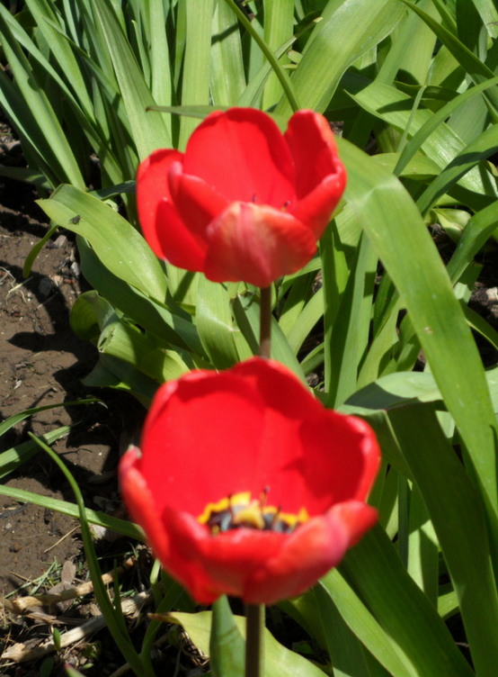 tulips-features